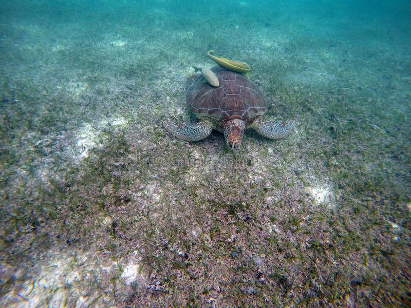 Download Mexican Sea Turtle Underwater Swimming Acumal Bay 14 Stock Image - Image: 83723931