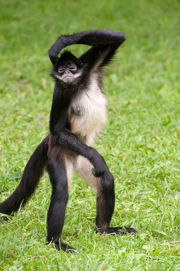 Mexican spider monkey stock photography