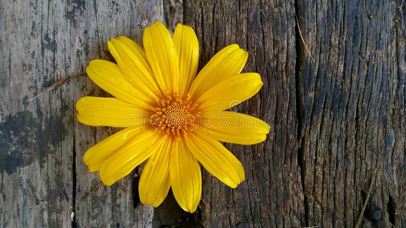 Mexican sunflower on brown wood royalty free stock photo