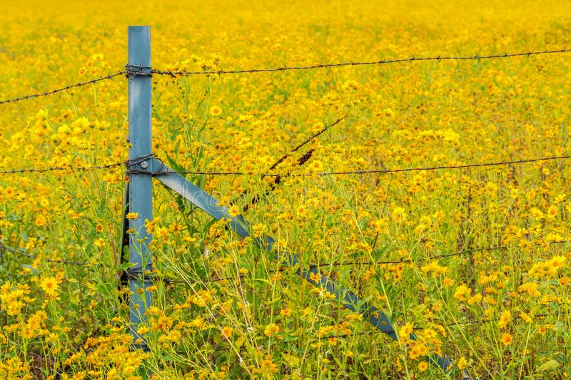 Sunflower Field with Wildflowers Surrounding the Barb Wire Fence stock photography
