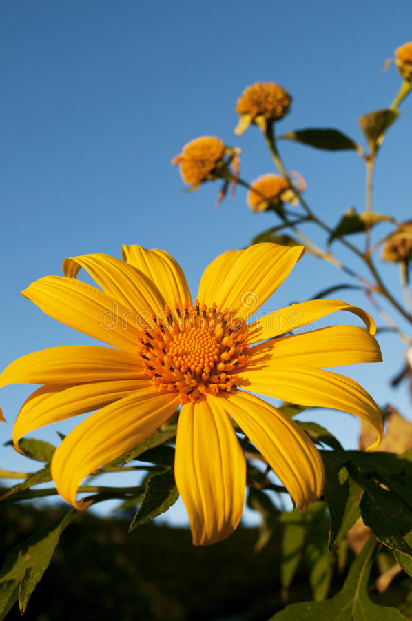 Free Mexican Sunflower Weed Royalty Free Stock Photo - 16916165
