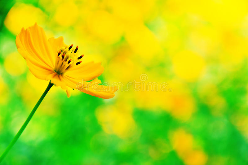 Download Mexican sunflower weed stock image. Image of beautiful - 23272409