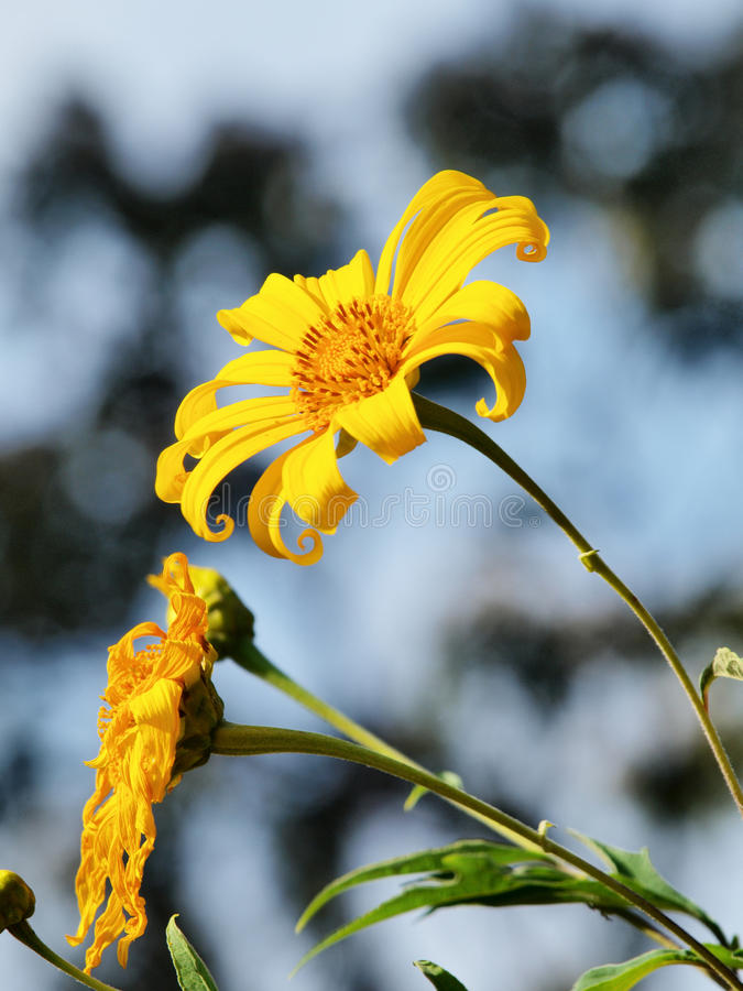 Download Mexican sunflower weed stock photo. Image of sunflower - 24287280