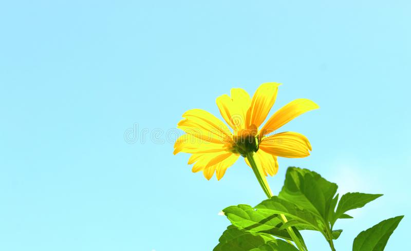Mexican sunflower weed and blue sky background.  stock photography
