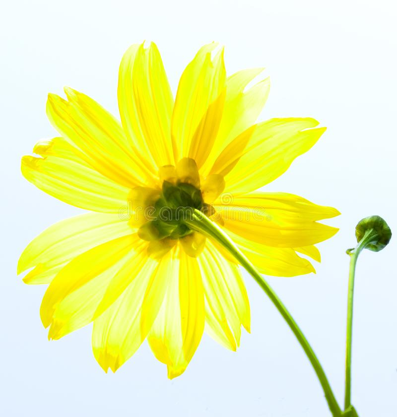 Mexican sunflower weed and blue sky background.  royalty free stock images