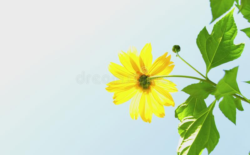 Mexican sunflower weed and blue sky background.  stock photo