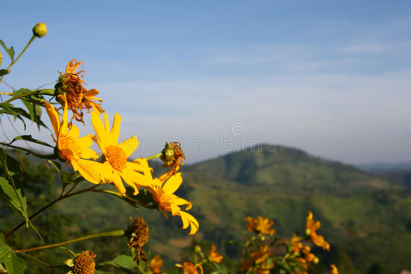 Mexican Sunflower Whit Background Stock Image