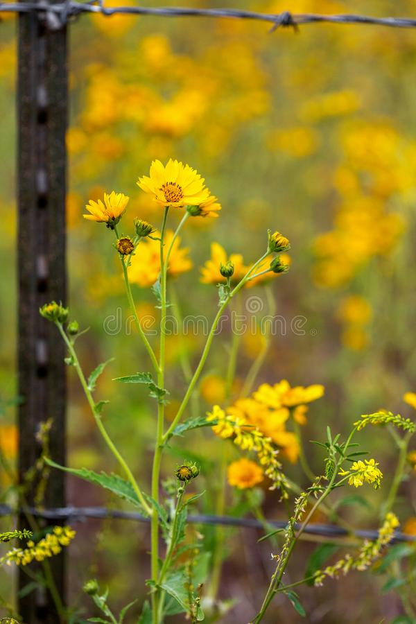 Sunflowers on the Outside of a Barb Wire Fence Closeup stock images