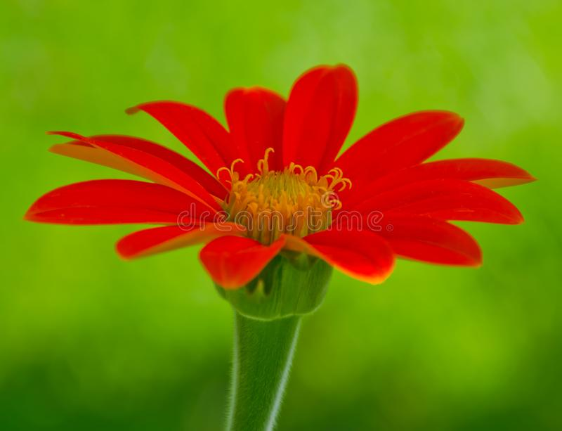 A Mexican Torch Sunflower stock photography