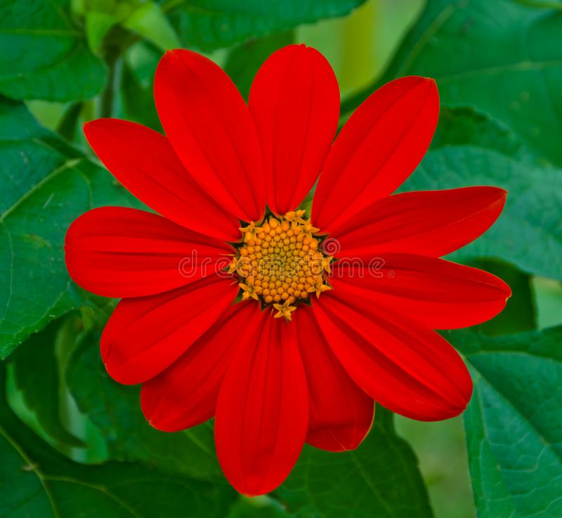 MEXICAN TORCH SUNFLOWER stock photo