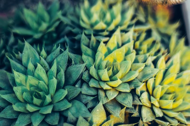 Mexican typical plant summer pattern, green cactus, succulent royalty free stock images