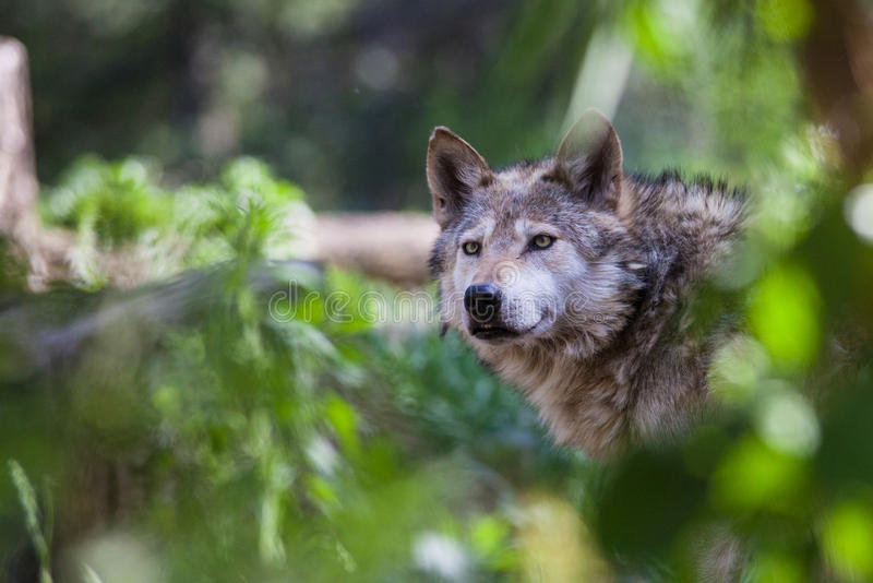Mexican Wolf. In Cheyenne Mountain Zoo in Colorado Springs, Colorado stock image