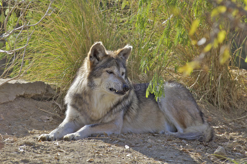 Download Mexican Wolf Bedded stock photo. Image of wolf, predator - 29245510