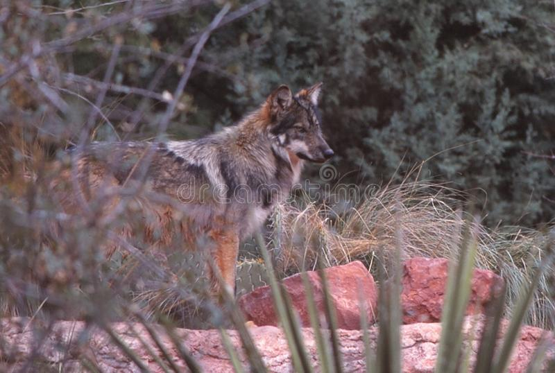 A Mexican Wolf peers out from the underbrush. royalty free stock photography