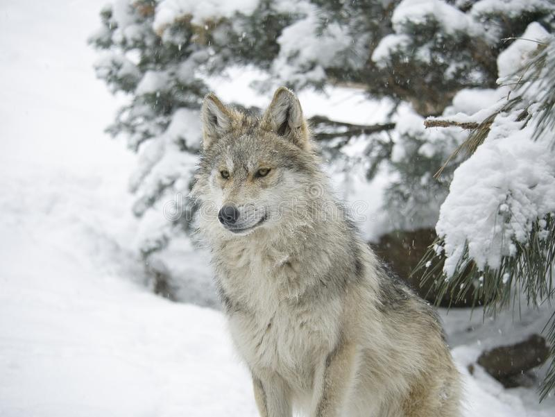 Mexican wolf in the snow royalty free stock image
