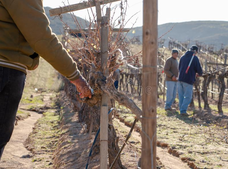 Mexican worker trimming wine crops in Valle de Guadalupe royalty free stock photography