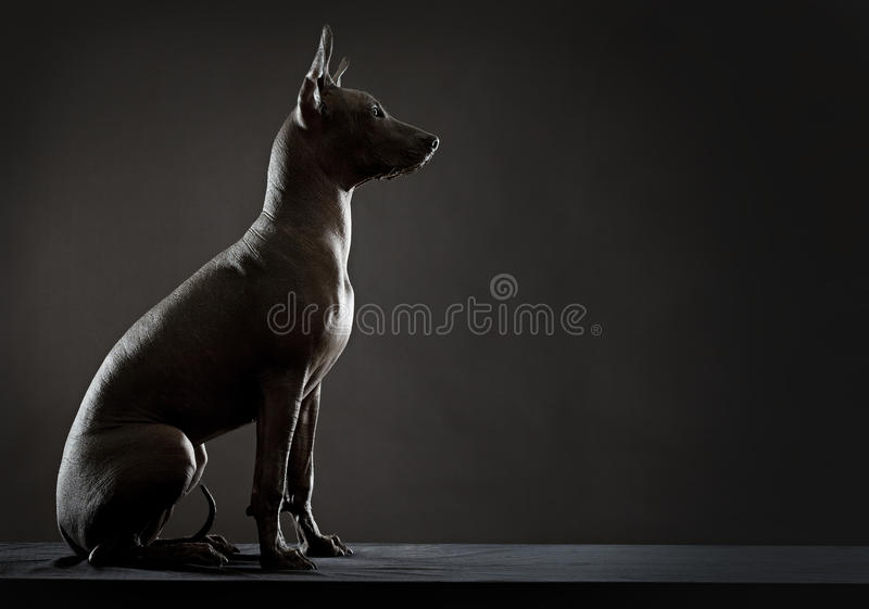 Download Mexican Xoloitzcuintle Stock Photos - Image: 28632863