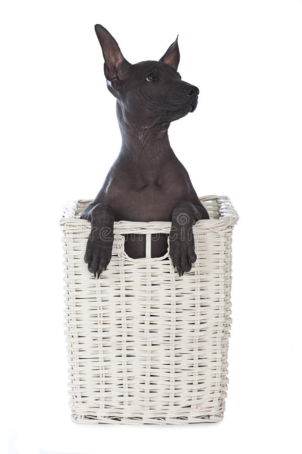 Mexican Xoloitzcuintle Puppy In A Basket Royalty Free Stock Photo
