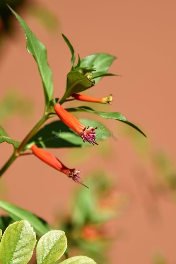 Mexicano Cigarplant, planta mexicana do charuto, ignea de Cuphea da planta do charuto, florescendo imagem de stock