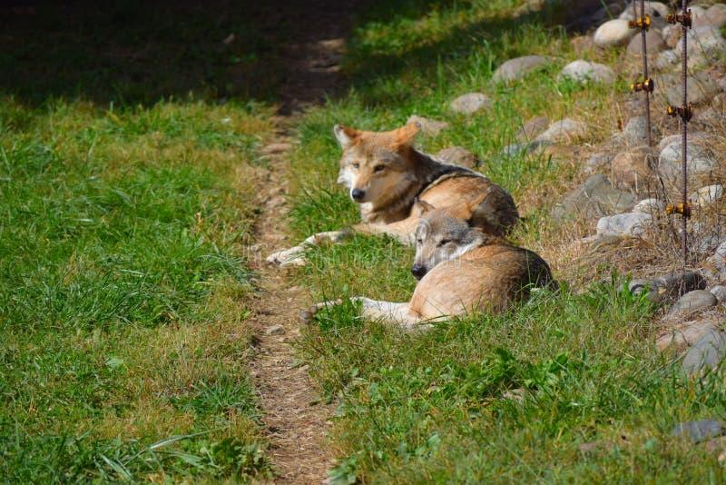 Mexicano Gray Wolves Basking en The Sun imagenes de archivo
