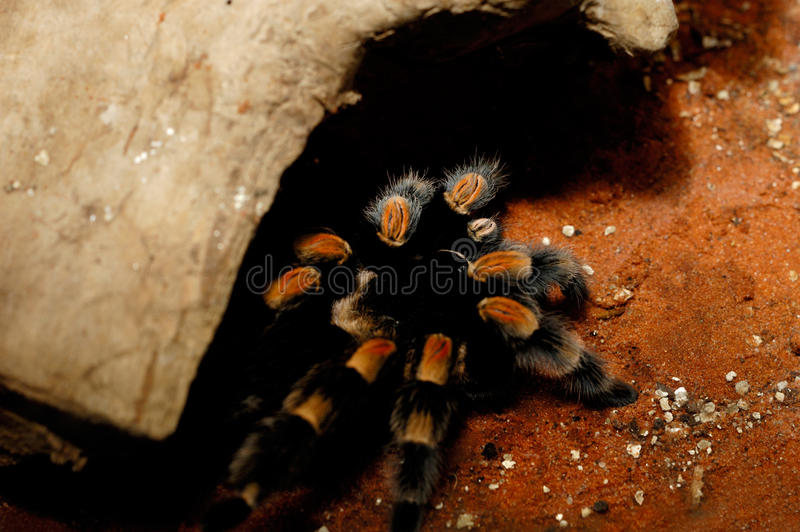 Mexicano Redknee de Brachypelma Smithi imagem de stock