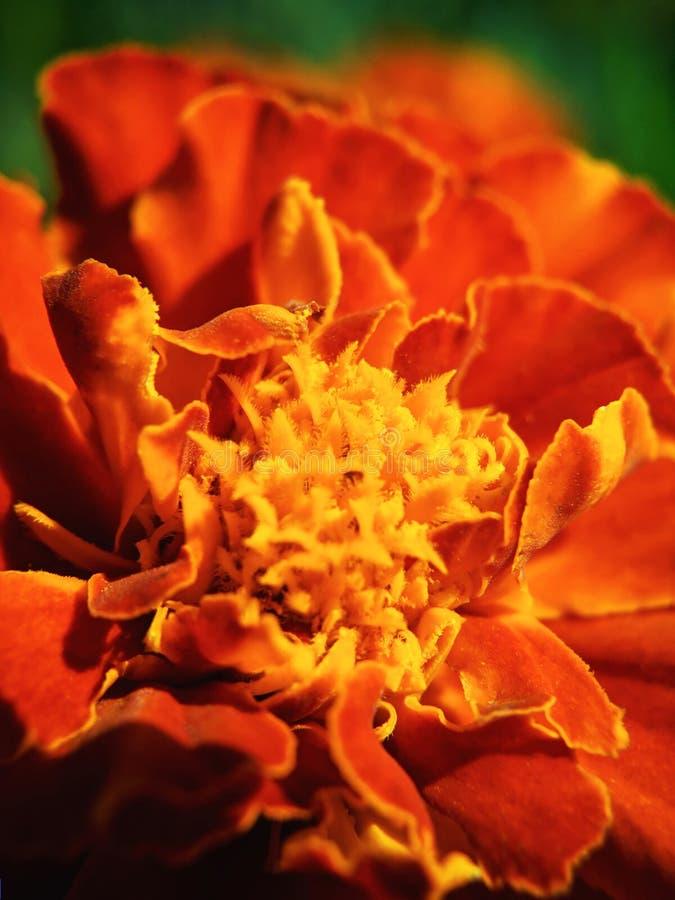 Mexicansk, Aztec eller afrikansk ringblomma för ringblommablommaTagetes erecta, i trädgården Makro av ringblomman i solig dag för royaltyfria foton