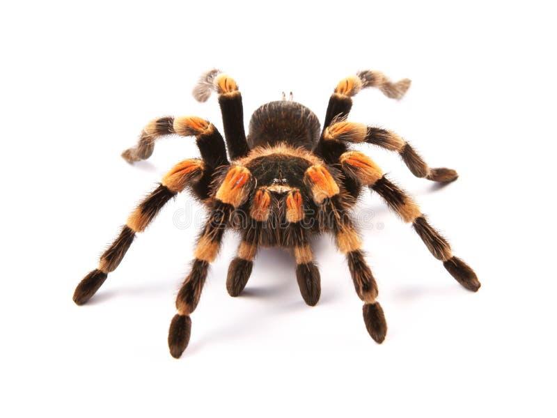 Mexicansk redkneetarantelBrachypelma smithi, spindelkvinnlig royaltyfria foton