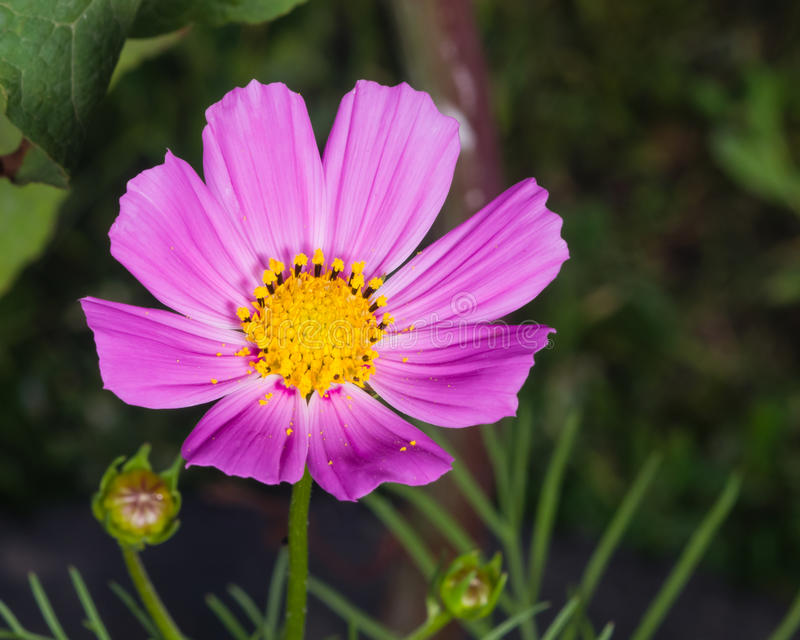 Mexicanska aster- eller trädgårdkosmos, kosmosbipinnatusen, lila blommar närbilden, den selektiva fokusen, grund DOF royaltyfria bilder