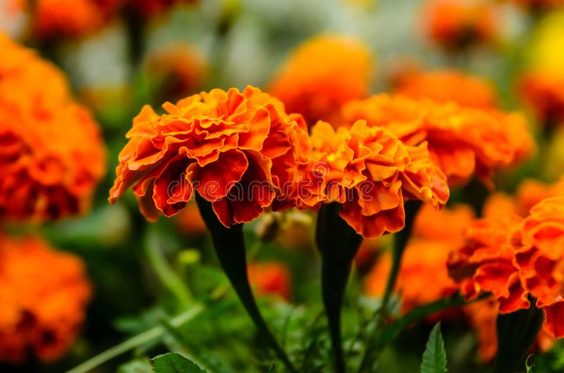 Mexicn marigolds Tagetes erecta, Aztec marigold on a flowerbed royalty free stock photo