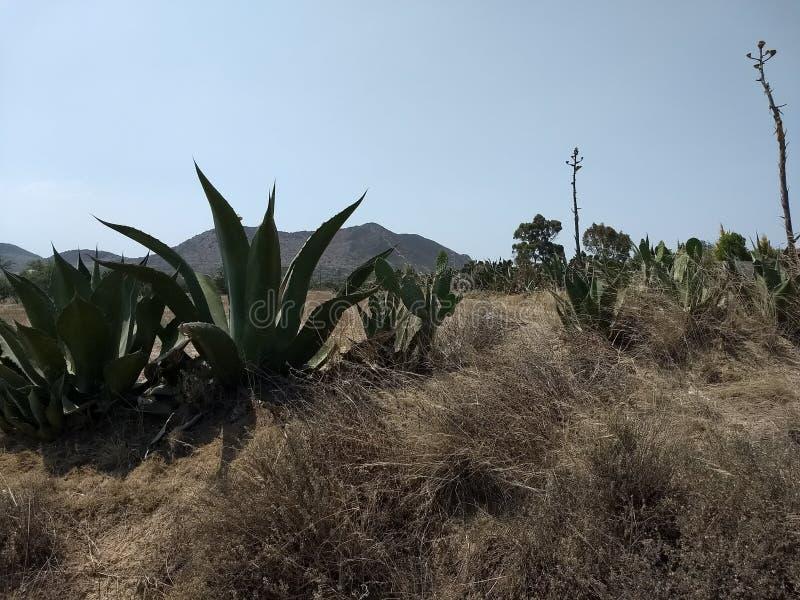 Mexico ökenväxter royaltyfria foton