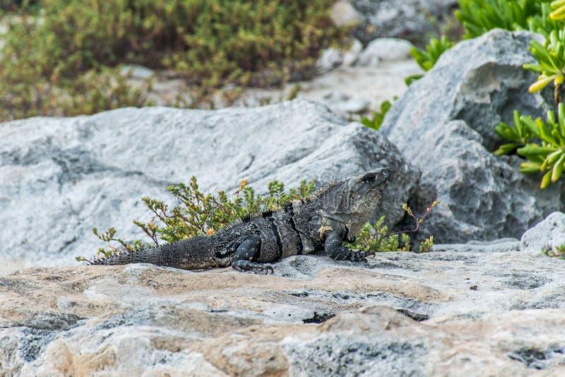 Download Mexico Wildlife Free Iguana Living Lizard Beach Stock Photo - Image: 83724672