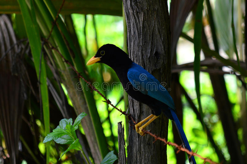 Mexico: Yucatan Jay. The Yucatan Jay is endemic to the Yucatan Peninsula and lives in groups. It is a noisy bird and can often be heard before seen stock photography