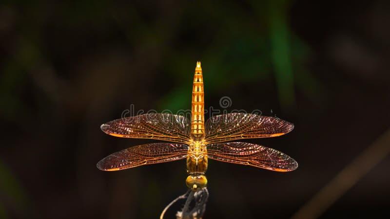 Mexikaner Amberwing-Libelle lizenzfreies stockfoto