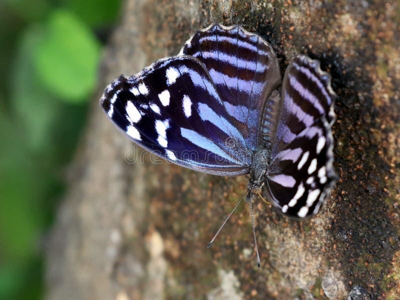 Mexikaner Bluewing-Schmetterling lizenzfreies stockfoto