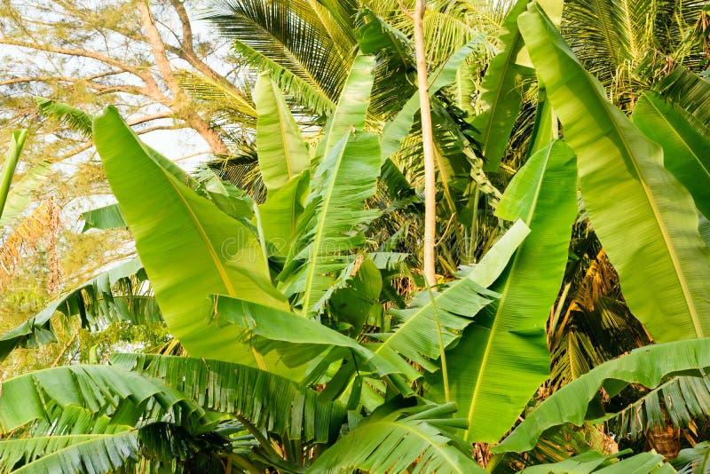 Mexikanische Bananenstauden lizenzfreie stockfotos