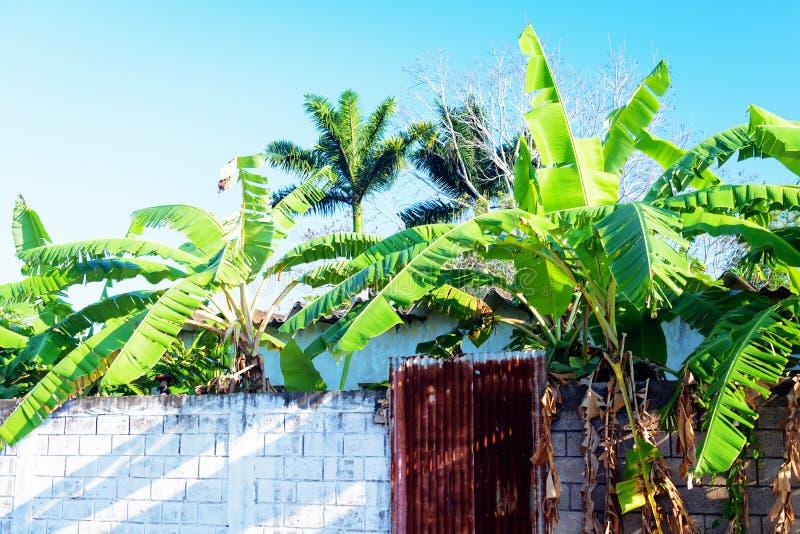 Mexikanische Bananenstauden stockfotos