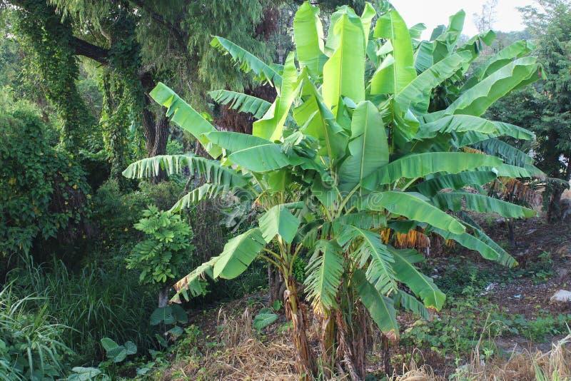 Mexikanische Bananenstauden lizenzfreie stockbilder