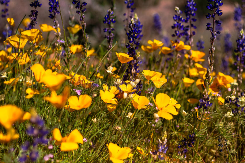 Mexikanische gelbe Mohnblumen stockbild