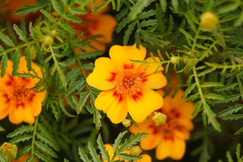 Mexikanische Ringelblumen der Blumenblätter erscheinen durch Blätter lizenzfreie stockbilder
