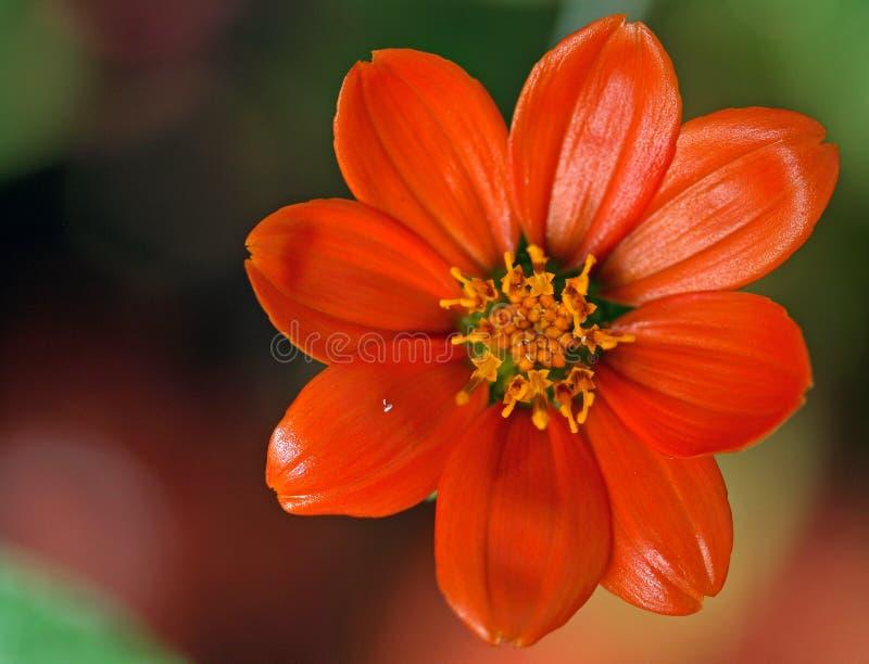 Mexikanische Sonnenblume lizenzfreie stockbilder
