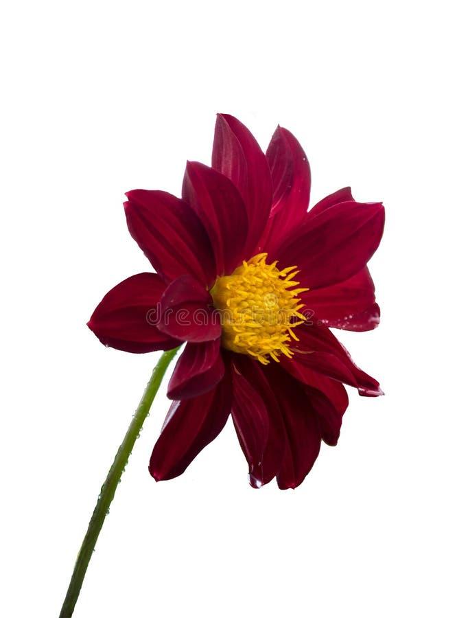 Mexikanische Sonnenblume stockfoto