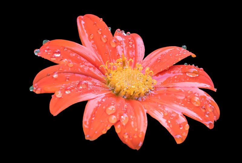 Mexikanische Sonnenblume lizenzfreies stockfoto
