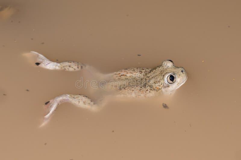 Mexikanische spadefoot Kröte stockbilder