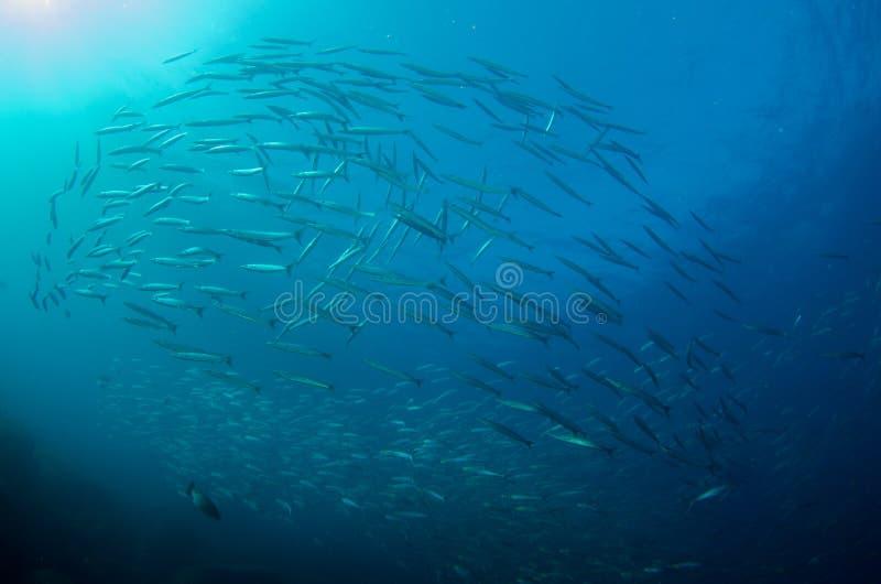 Mexikanischer Barracuda lizenzfreies stockbild