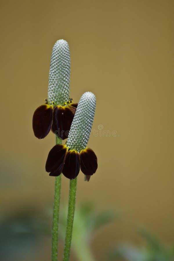 Mexikanischer Hut-Blume stockbild