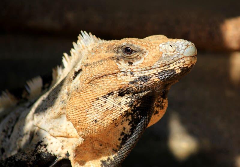 Mexikanischer Leguan lizenzfreies stockbild