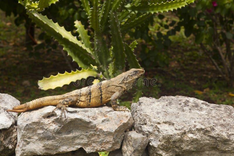 Mexikanischer Leguan, der auf einem Felsen in Chichen Itza stillsteht stockbilder