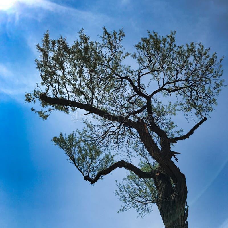 Mexikanischer mezquite Baum lizenzfreie stockbilder