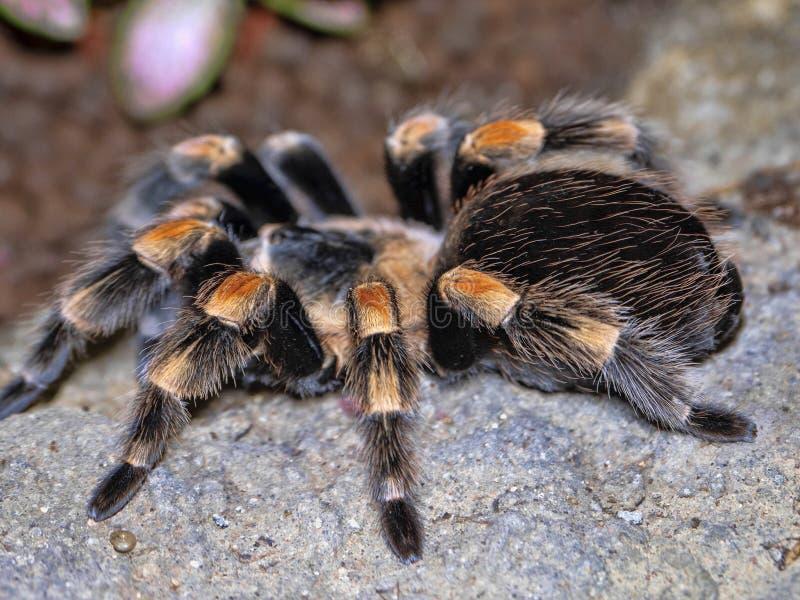 Mexikanischer redknee Tarantel, Brachypelma-smithi, ist eine große haarige Spinne lizenzfreies stockfoto