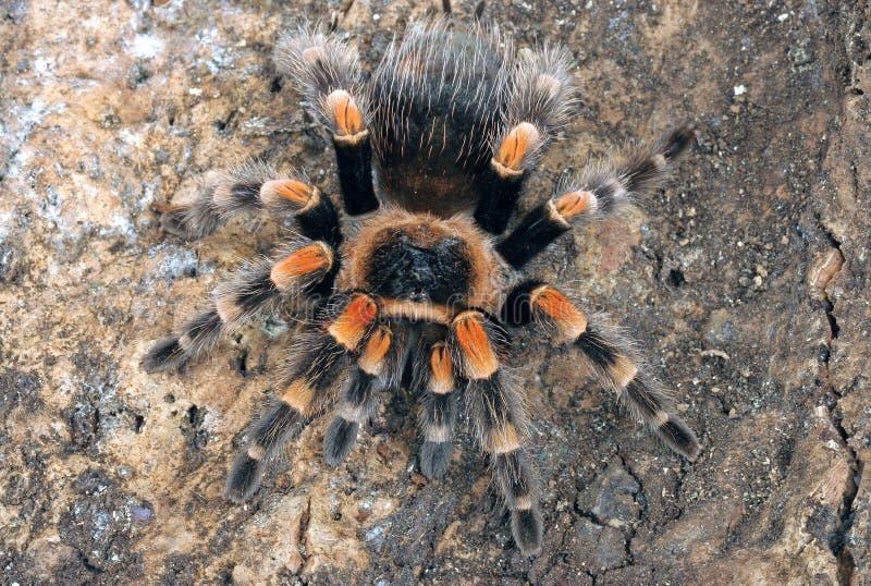 Mexikanischer redknee Tarantula lizenzfreies stockfoto